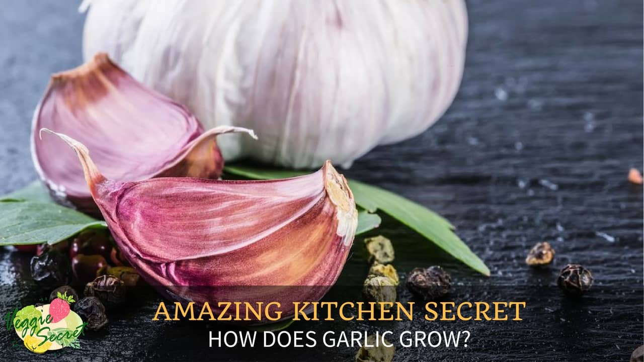 how does garlic grow