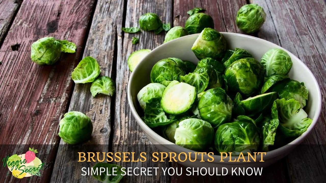 Brussel Sprout Plant – The Simple Secrets You Should Know