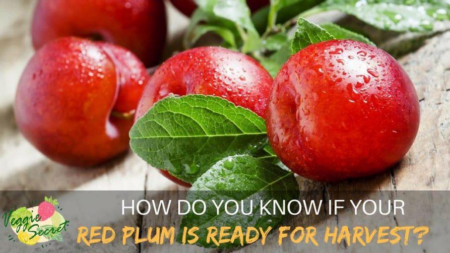 red plum
